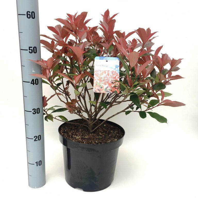 Photinia fras carre rouge van der peijl tuinplanten - Photinia fraseri carre rouge ...